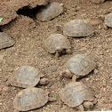Hatchling Galapagos tortoises