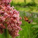Hummingbird (Clearwinged) Moth