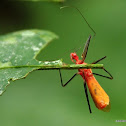 Assassin Bug - Reduviidae