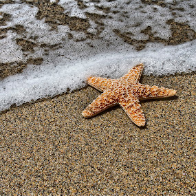 Patrick III by Richard Timothy Pyo - Nature Up Close Other Natural Objects ( water, sand, starfish, ocean, beach )