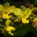Cyrtopodium Orchid