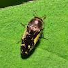 Buprestid Beetle