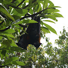 Flying Foxes/Vliegende Hond