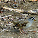 White Crowned Sparrow(Yellow Billed)
