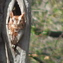 Eastern Screech Owl(Red Morph)