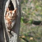 Eastern Screech Owl(Red Morph)