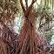Pandanus tectorius (Screwpine)