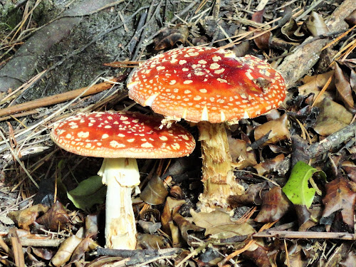 The Pair by Marion Metz - Nature Up Close Mushrooms & Fungi ( poisonous, red, fungi, nature, white, forest, new zealand, bluff hill )