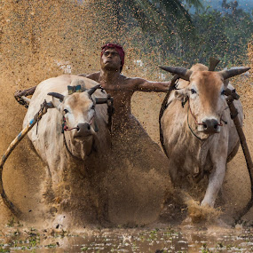 Dirty Dancing (Pacu Jawi) by Teddy Winanda - News & Events Sports ( minangkabau traditional sport, west sumatera tourism, indonesia tourism, racing cow, pacu jawi )