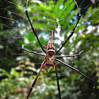 Golden Web Spider