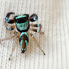 Dual colored spider/Fighting spider(Female)