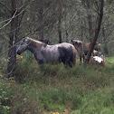 Caballo (es) Cabalo (ga) Horse (en)