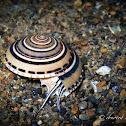 Clear Sundial Snail, Perspective Sundial Snail