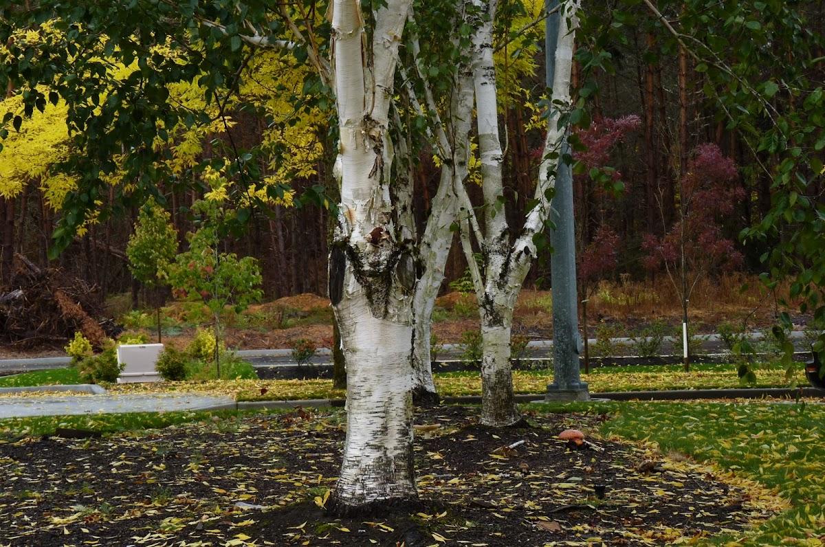 (White Birch)  Betula papyrifera