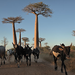 Zebus at Baobab Alley, Madagascar by Edzo Boven - Animals Other Mammals ( personnes, villes, continents, pentax, marchés, découvertes curiosités, rencontres )