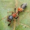 Karengga ant like jumper