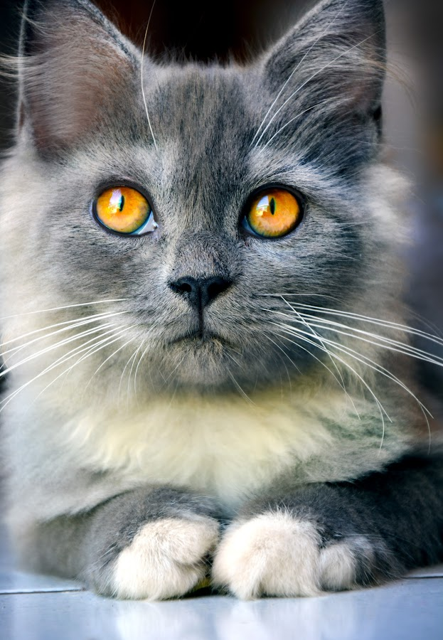 Lagi Serius... by Encik Muchlis - Animals - Cats Portraits