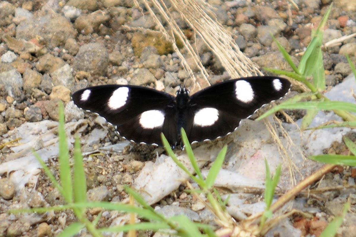 Danaid Eggfly - Male
