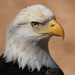 Eagle Profile by Gary Enloe - Animals Birds ( bird, eagle, feathers )