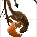 Hoary Bellied Squirrel