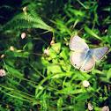 Peablue Butterfly