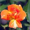 Shrub Rose 'Gypsy Dancer'