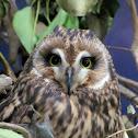 Short-eared Owl,Coruja-do-nabal