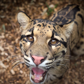 Clouded Leopard by Selena Chambers - Animals Lions, Tigers & Big Cats ( wild cat, cat, wildlife, leopard, clouded leopard,  )