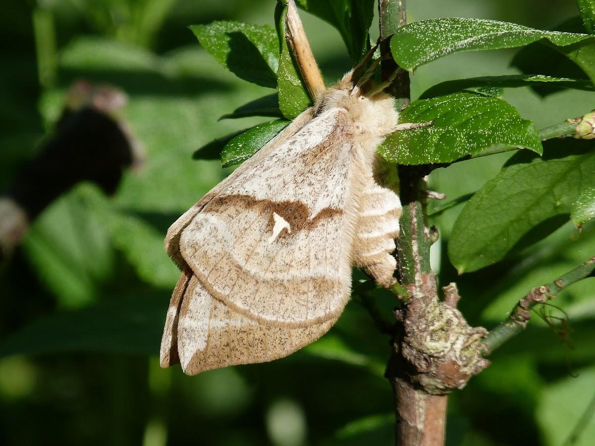 Tau Emperor Moth