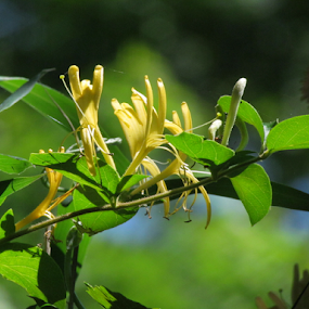 The scent of Yellow Honeysuckle  by Alan Hammond - Flowers Flowers in the Wild ( flowers, , Spring, springtime, outdoors )