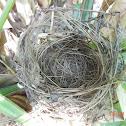 Red-whiskered Bulbul Nest