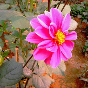 Pink beauty by Prince Frankenstein - Instagram & Mobile Android ( beautiful, pink, dahlia,  )