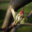 Apple buds
