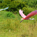 Roseate Spoonbill & a White Egret