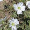 Whitest evening-primrose
