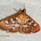Baccatalis moth