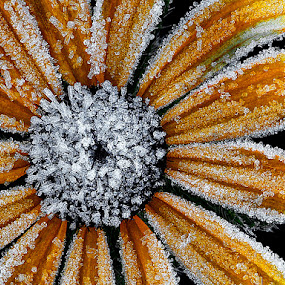 Frost on Black Eyed Susan by Mike Moats - Flowers Flowers in the Wild ( black eyed susan flower )