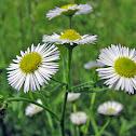 Prairie, or Daisy, Fleabane