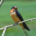 Barn Swallow (male)