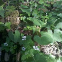 Bunchberry/ false lily of the valley