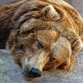Tired Bear by Luanne Bullard Everden - Animals Other ( animals, furry, bears, portraits, zoos,  )