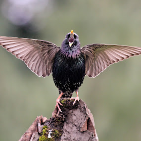 Starling by Lynne McClure - Animals Birds ( bird, starling, nature, wings, wildlife,  )