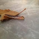 Variable Oak Leaf Caterpillar