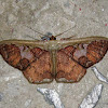 Geometridae