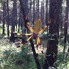 Golden Silk Orbweaver