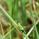 Blackish Meadow Katydid