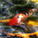 Koi Animated Water Waves
