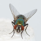 house fly pest