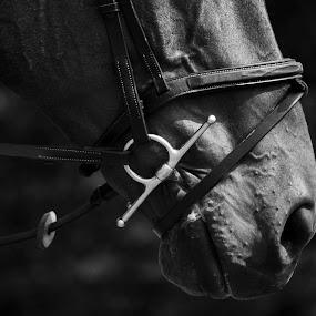 by Becky Woodall - Animals Horses ( blackandwhite, bit, bridle, horse, tack, closeup )