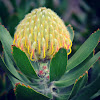"""Yellow Bird"" - Pin Cushion Protea"